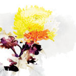 chrysanthemum1-gallery